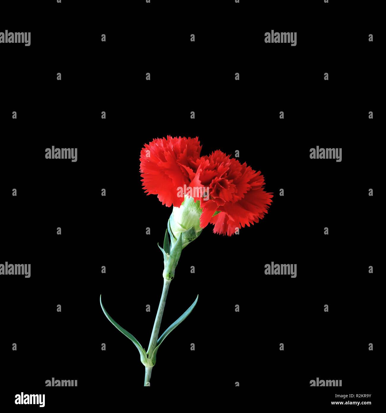 zeus flower - Stock Image