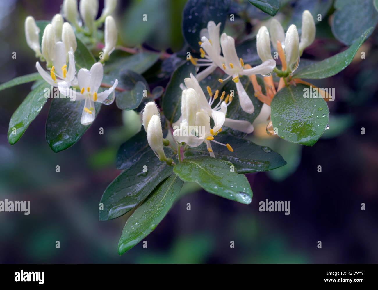 Closeup of honeysuckle blossoms - Stock Image