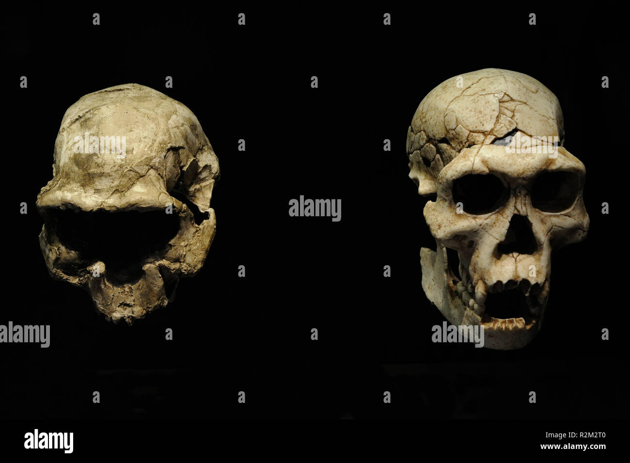 Homo georgicus. On the left, reproduction of the skull D2282 probably of a young woman. Cranial capacity, 650-660 cc; on the right, reproduction of the skull D2700 and the jaw D2735 corresponding to a male. Weight, 40-50 Kg. Size, 150 cm. Cranial capacity, 600-700 cc. 1.8 million years. Lower Pleistocene. Habitat, steppe forests. Found in Dmanisi (Georgia). National Archaeological Museum. Madrid. Spain. - Stock Image