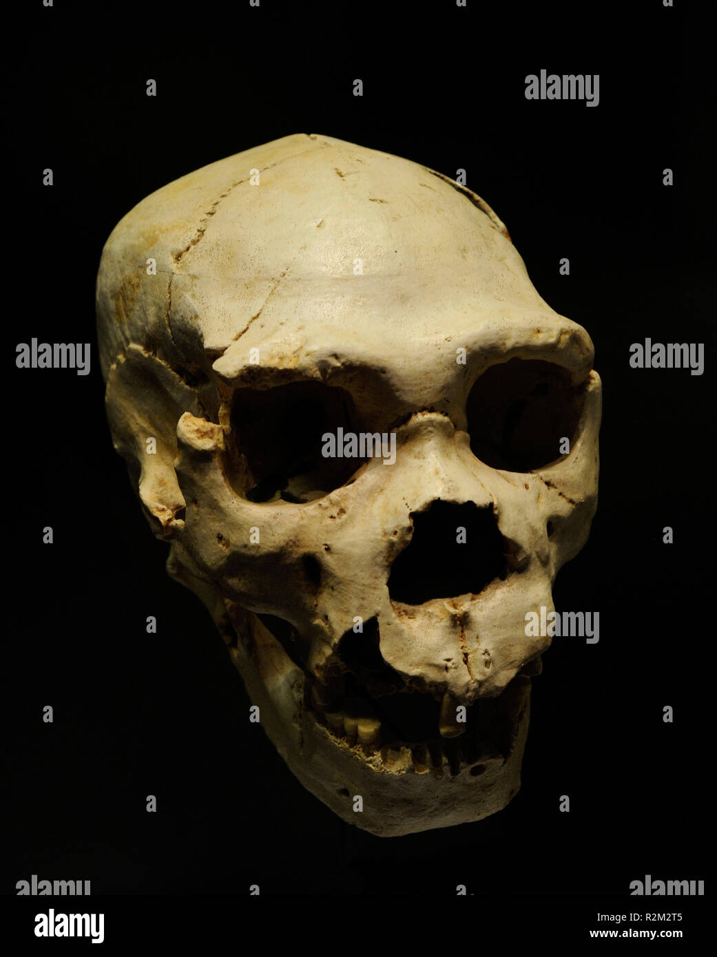Homo heidelbergensis. Skull 5 and mandible AT-888 of an adult individual, called Miguelon. Found in the Sima de los Huesos, Atapuerca (province of Burgos, Castile and Leon). National Archaeological Museum. Madrid. Spain. - Stock Image