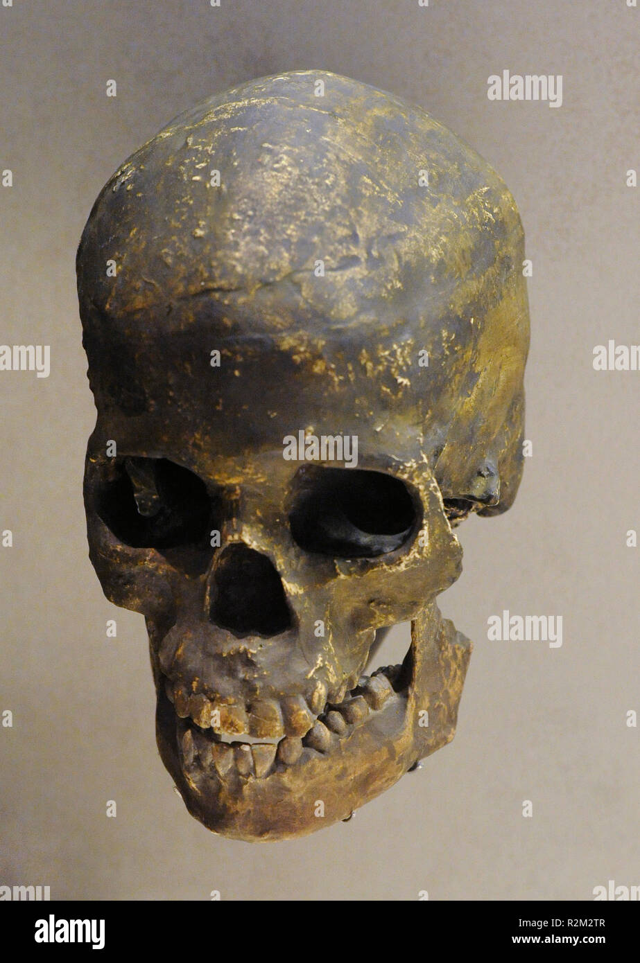 Homo sapiens. Reproduction of a skull. Cranial capacity: 1650 cc. 120000 to the present. National Archaeological Museum. Madrid. Spain. - Stock Image