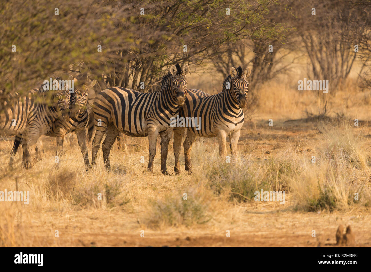 Zebra or zebras group in the wild at sunset in Erindi private game reserve in Namibia, Africa Stock Photo