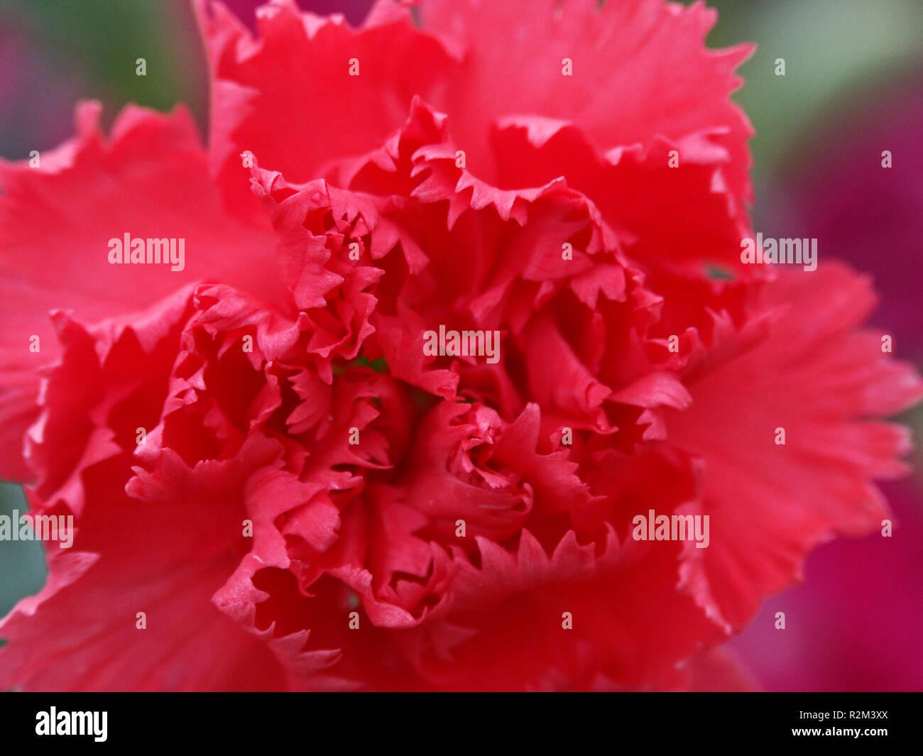 carnation - Stock Image