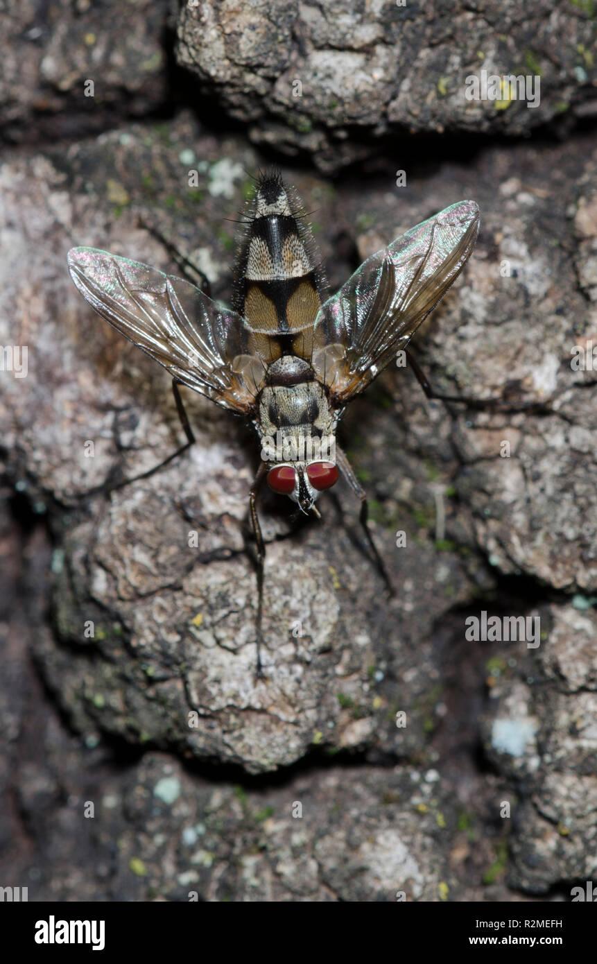 Tachinid Fly, Zelia vertebrata, male - Stock Image