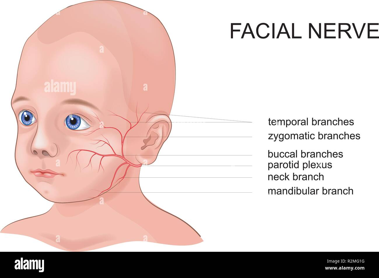 vector schematic illustration of the anatomy of the facial nerve - Stock Image