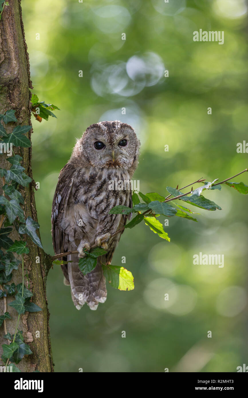 Tawny owl perching on a branch - Stock Image