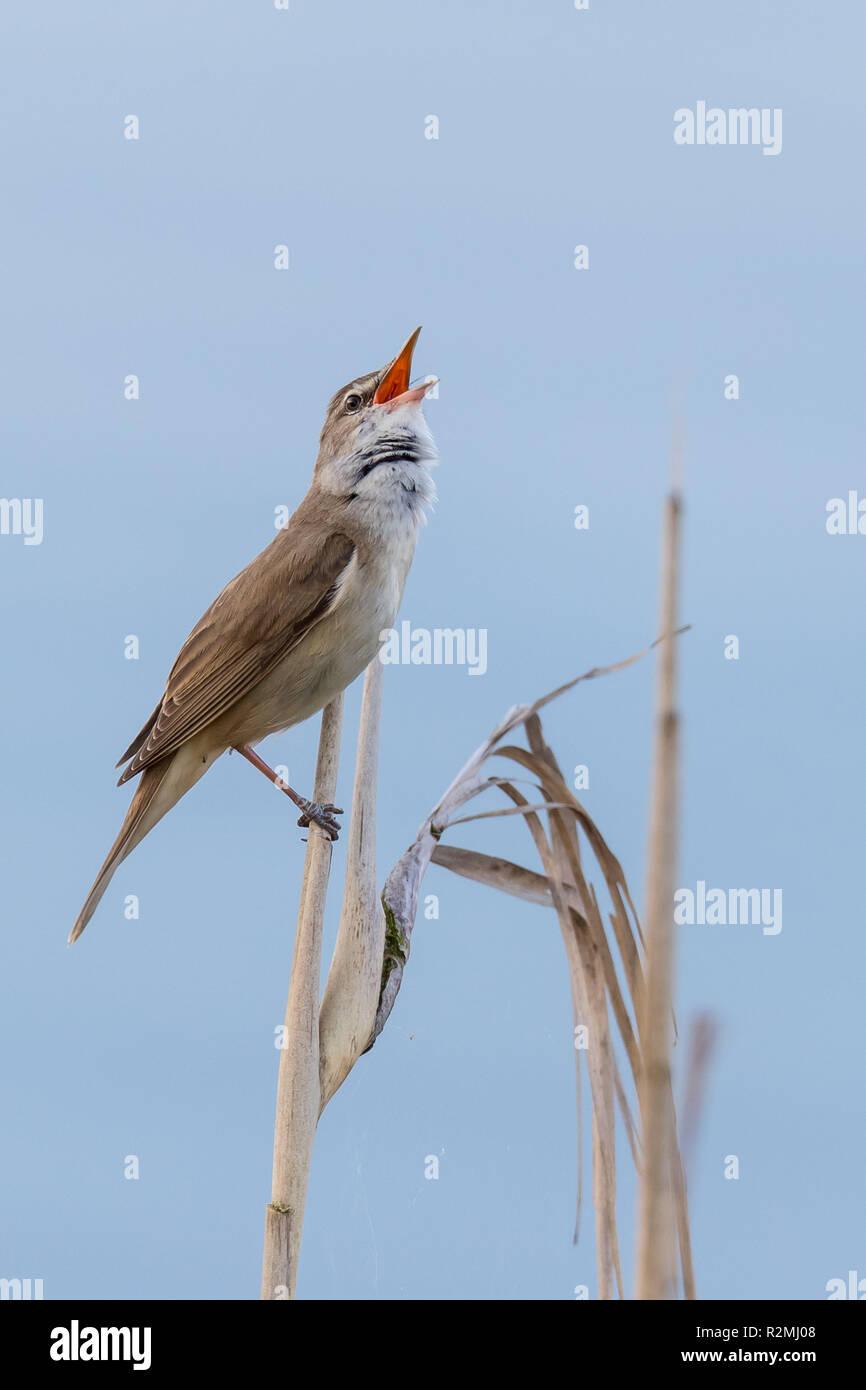 Great Reed Warbler, Acrocephalus arundinaceus, songbird Stock Photo