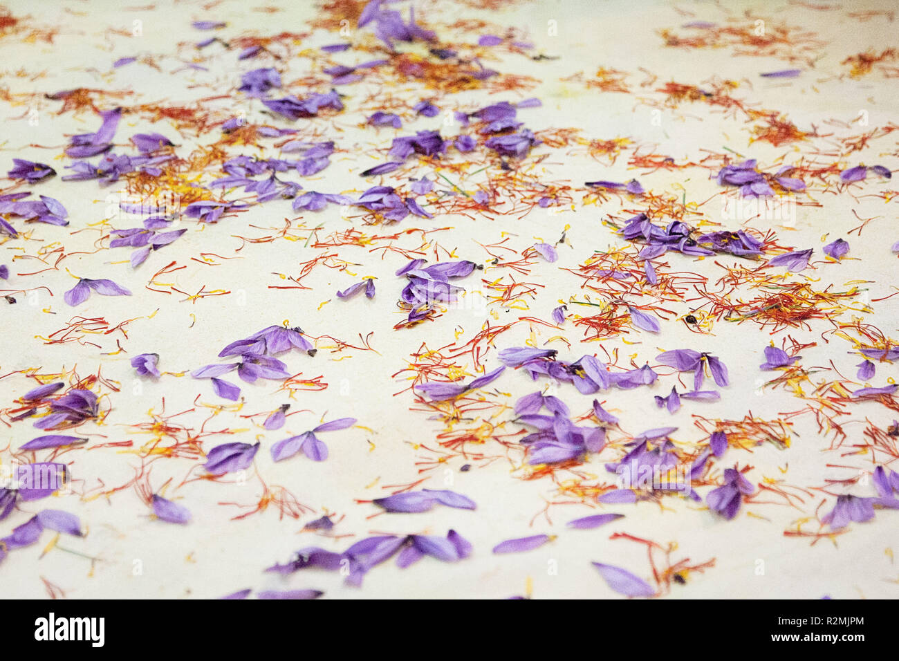 The saffron flowers and saffron threads lying separately on a white cloth to be collected later, - Stock Image
