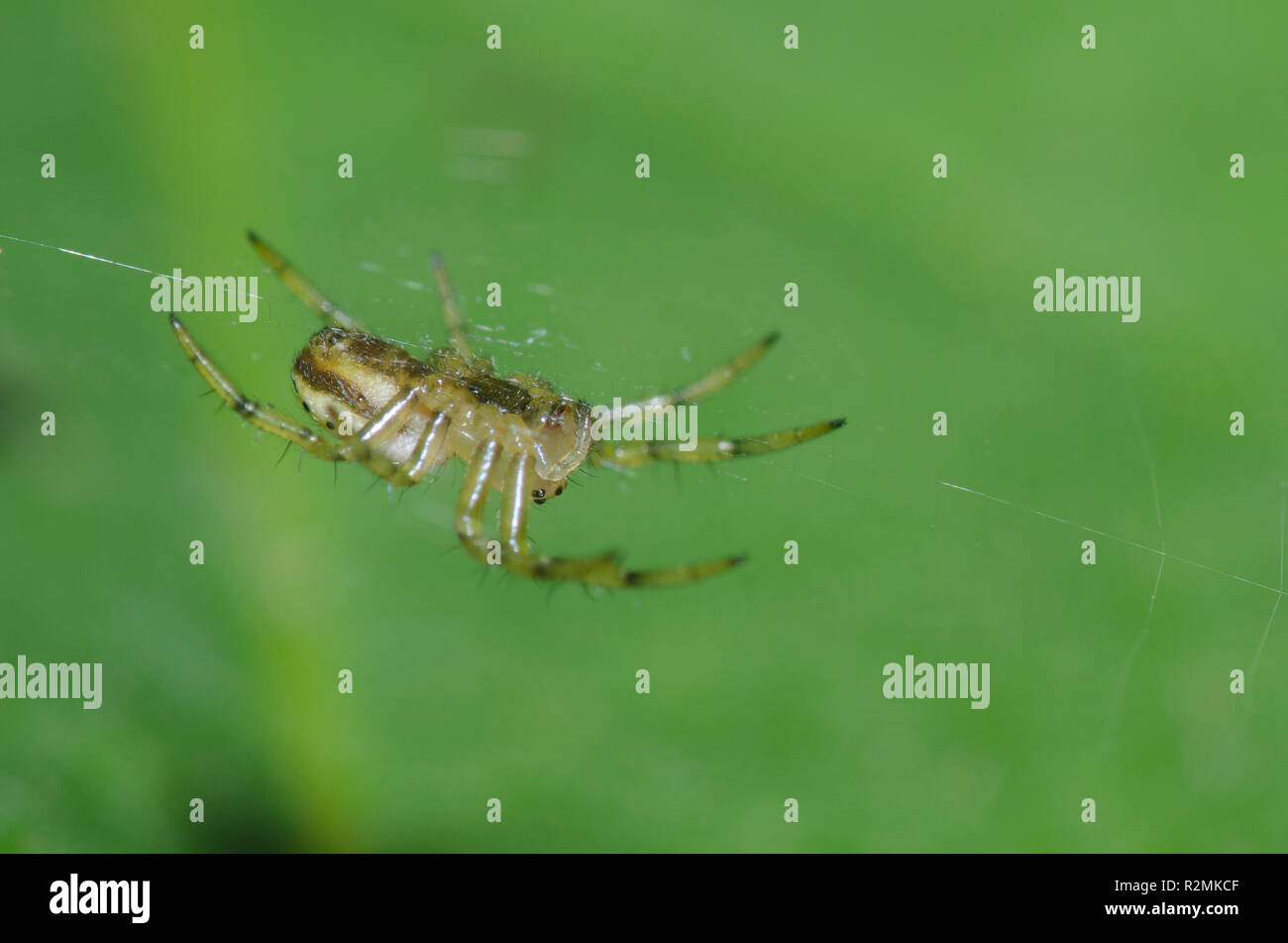 Sixspotted Orbweaver, Araniella displicata, hanging in orb web spread over surface of leaf - Stock Image