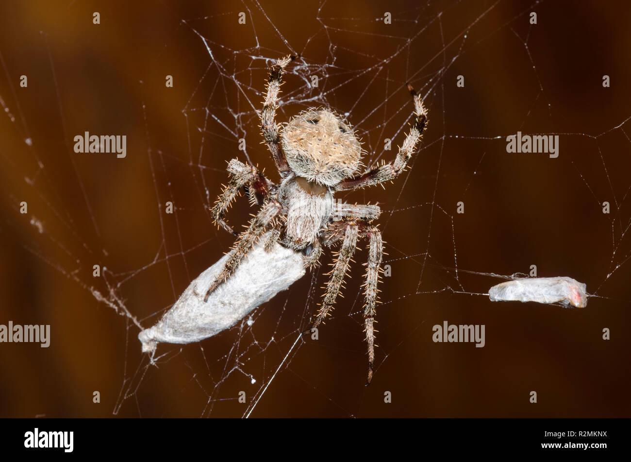 Spotted Orbweaver, Neoscona crucifera, with prey - Stock Image