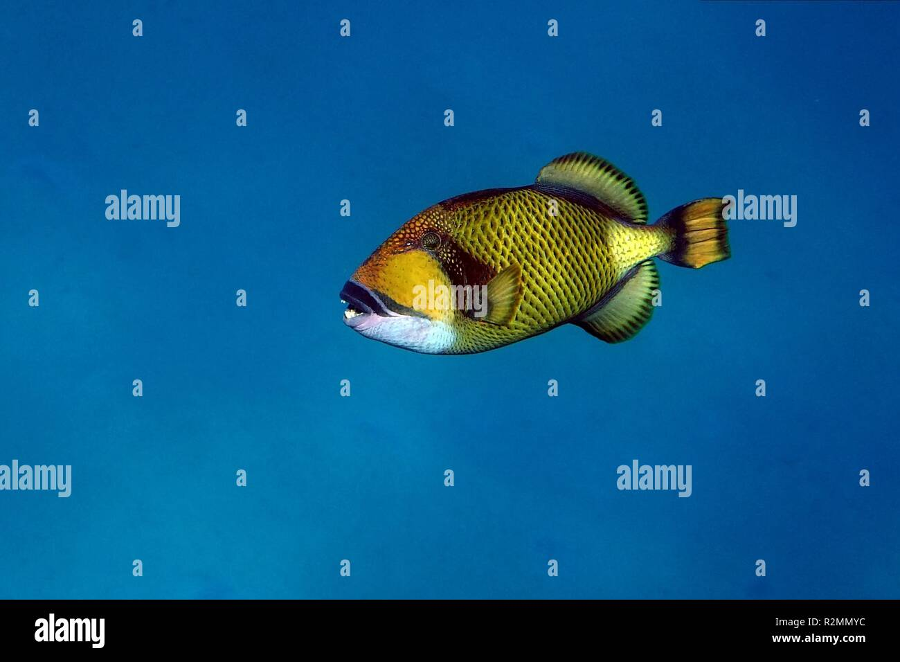 giant triggerfish - Stock Image