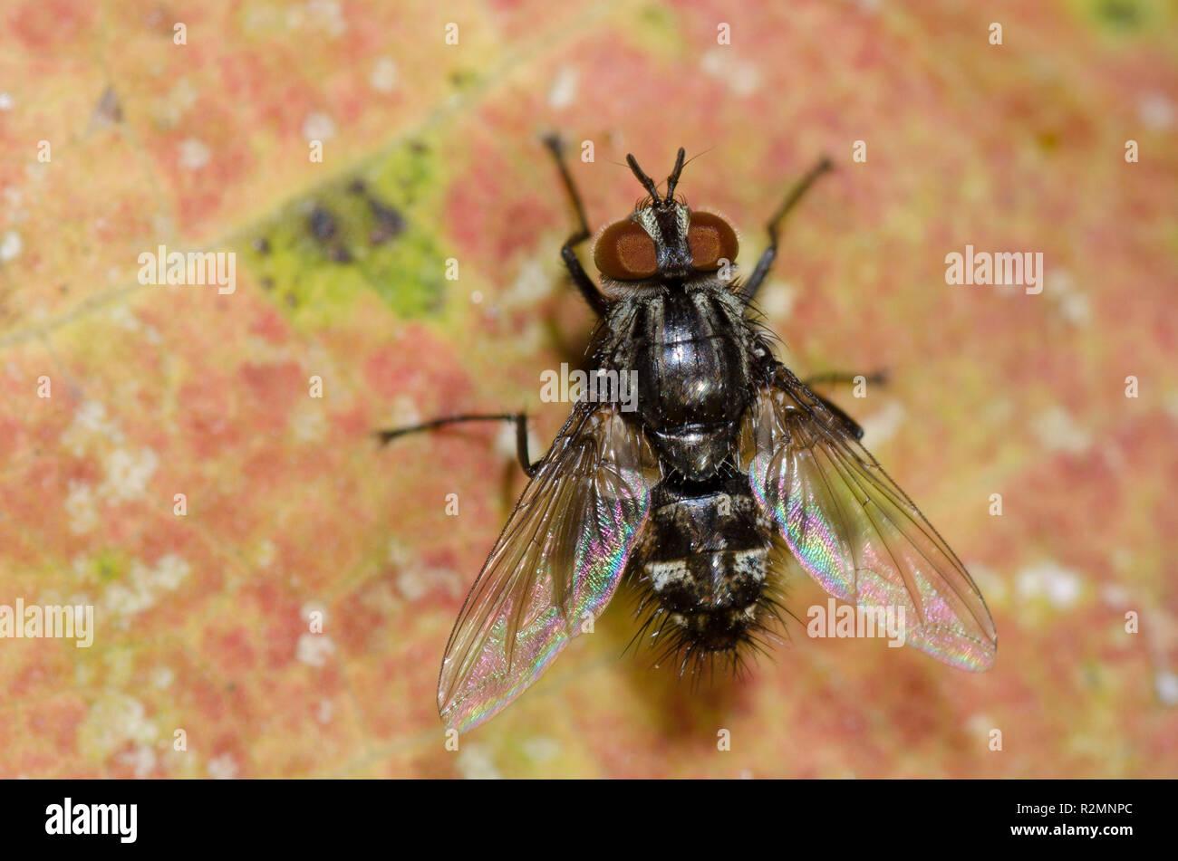 Tachinid Fly, Nemorilla pyste Stock Photo