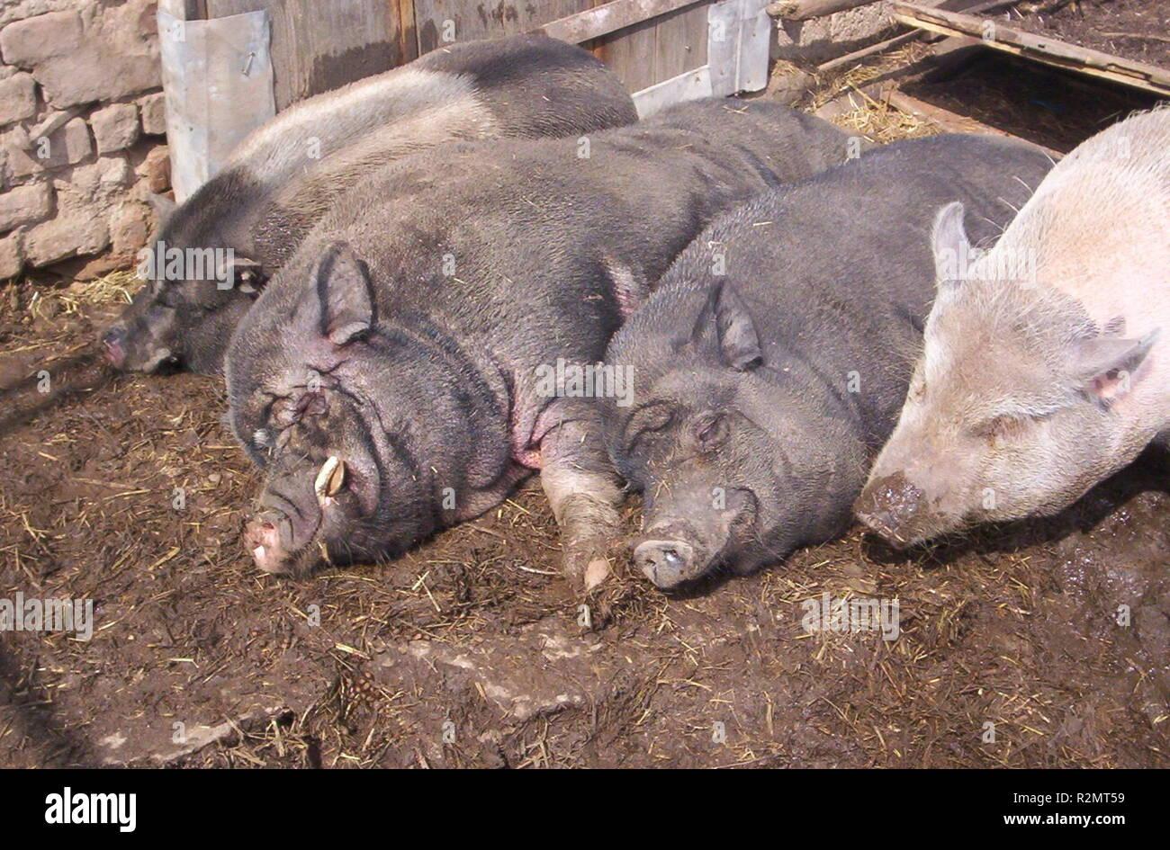 sleeping pig - Stock Image