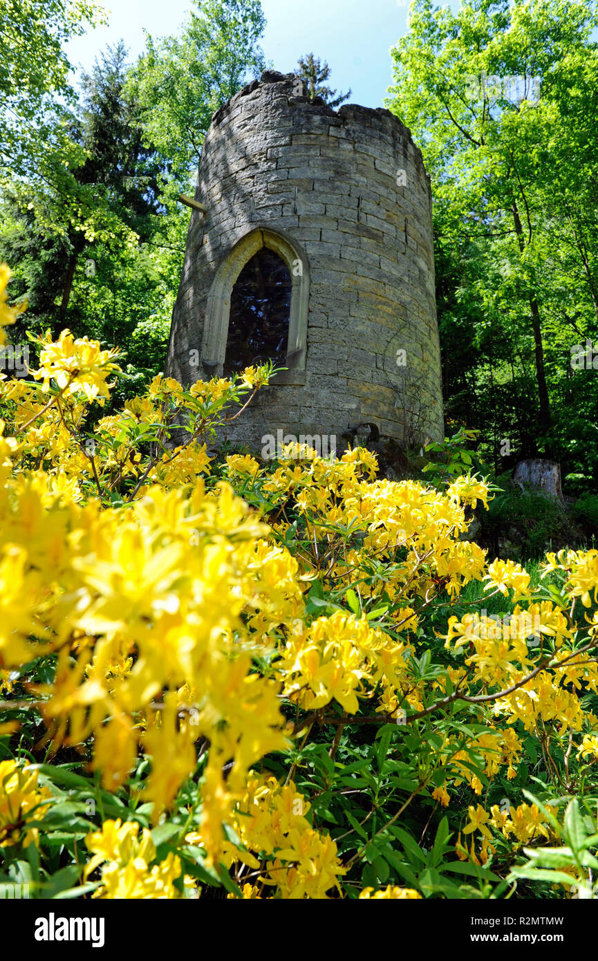 Lush yellow flowers of Rhododendron luteum, an early summer flowering azalea at the Swiss mill in the Bielatal of Saxon Switzerland Stock Photo