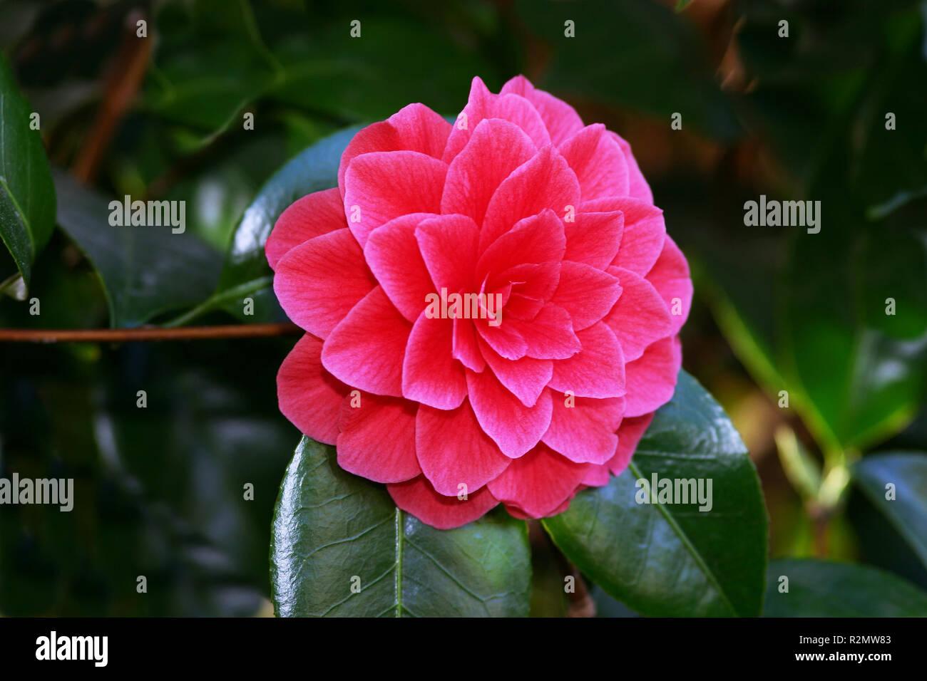 Camellia Japonica Roger Hall camellia japonica roger hall stock photos & camellia