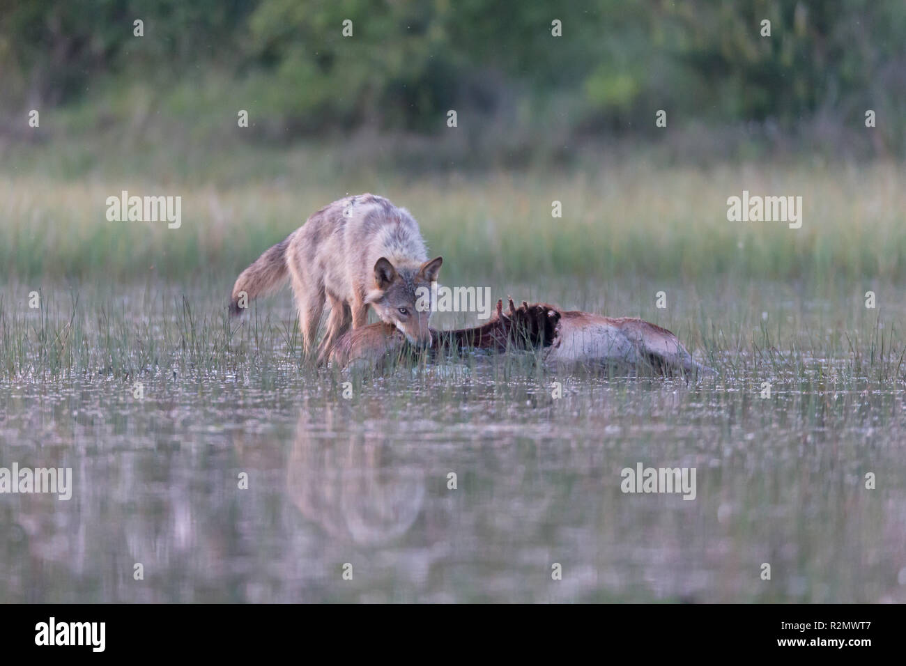 Wolf in the wild, prey, eat - Stock Image