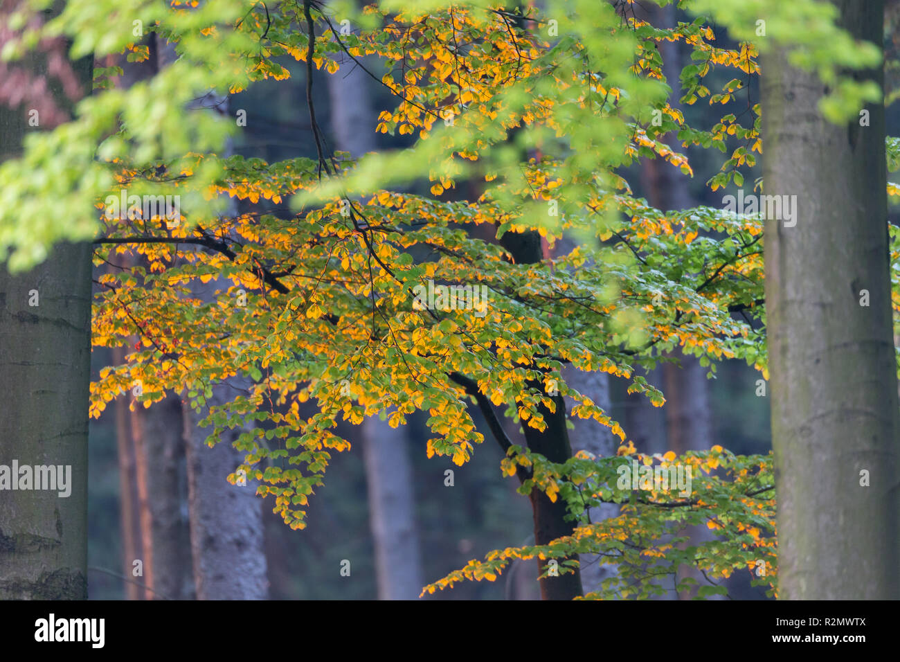 Beech leaves in the light of the rising sun - Stock Image