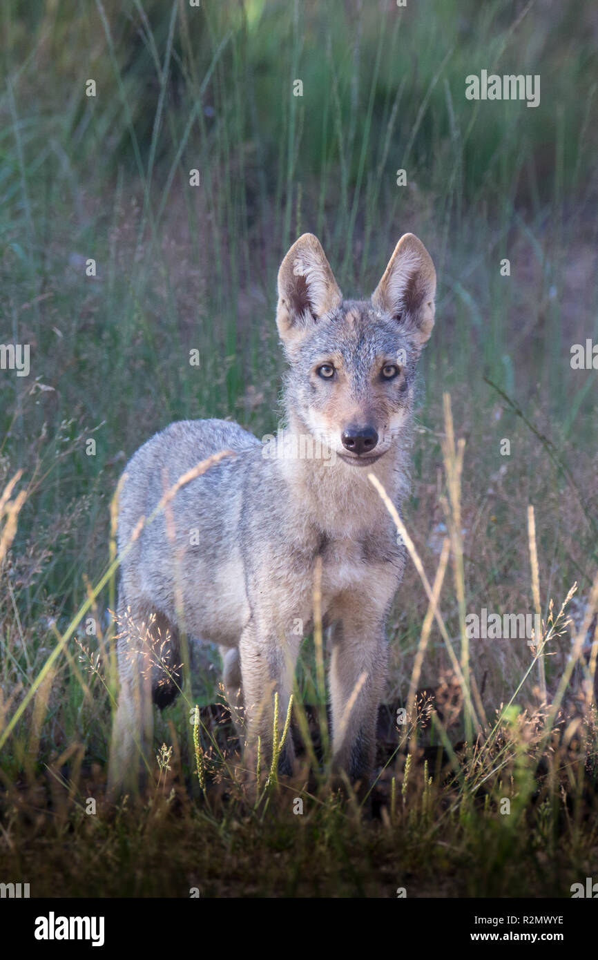 Wolf pup in the wildness - Stock Image