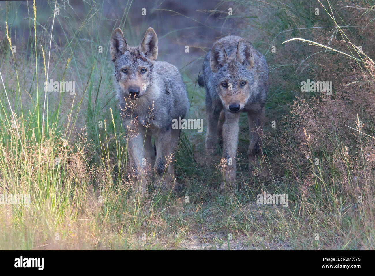 two wolf pups in the wildness - Stock Image