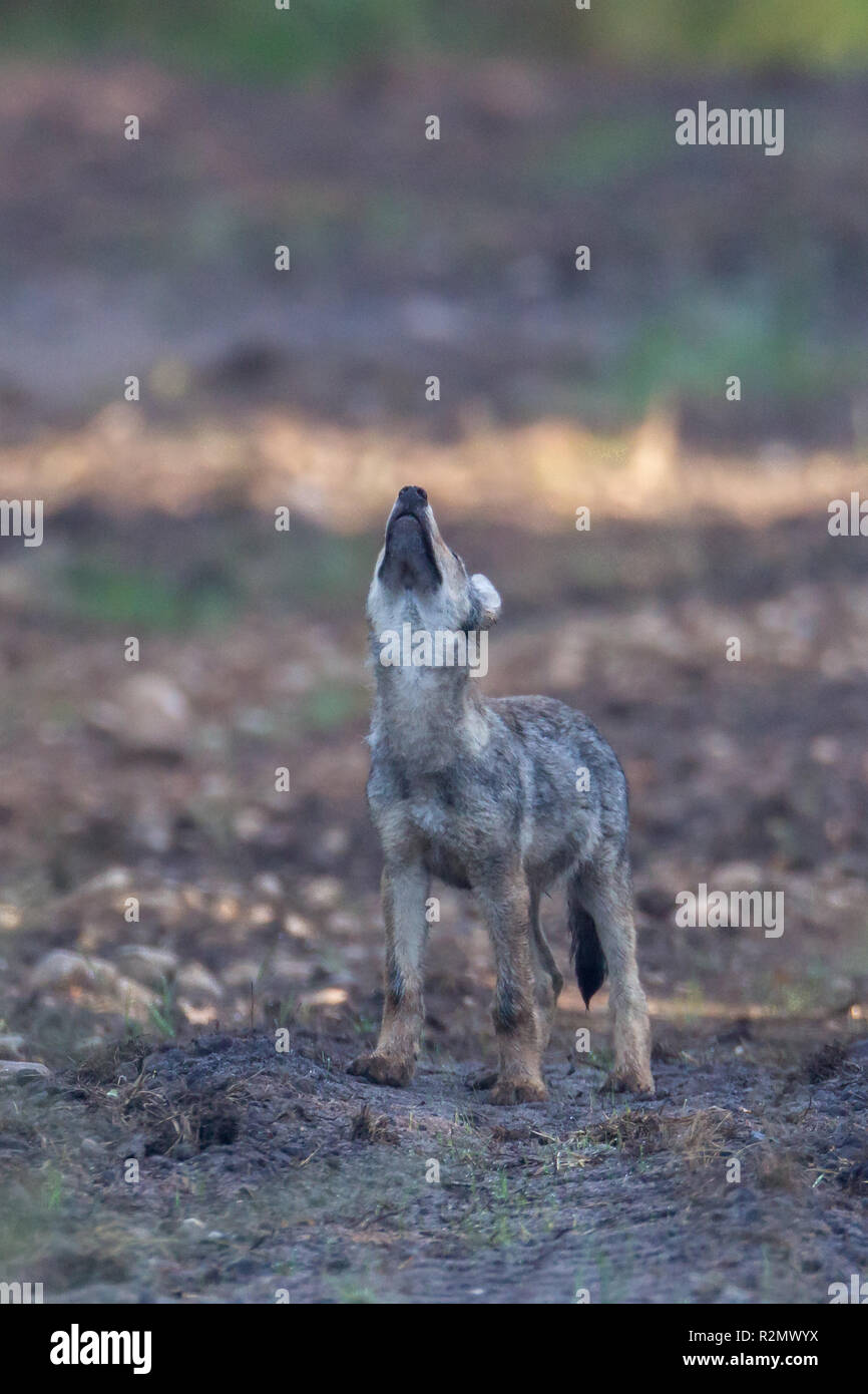 Wolf pup howls in the wildness - Stock Image