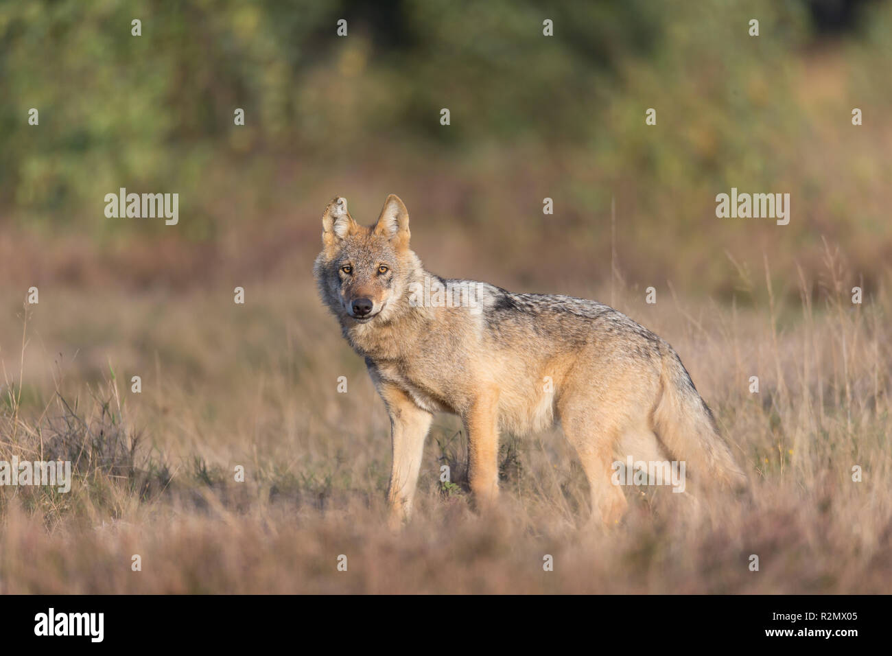 Wolf in the wild - Stock Image