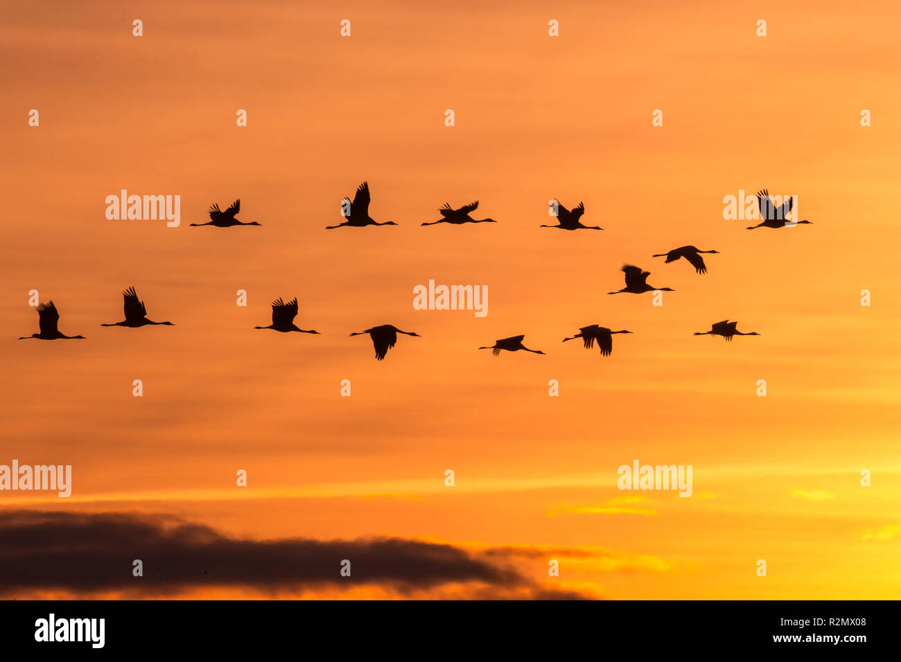 Group of cranes in front of rising sun at the red sky - Stock Image