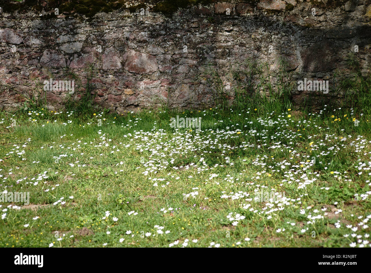 A rustic wall of staggered and broken stones on a meadow of dandelions and daisies, - Stock Image