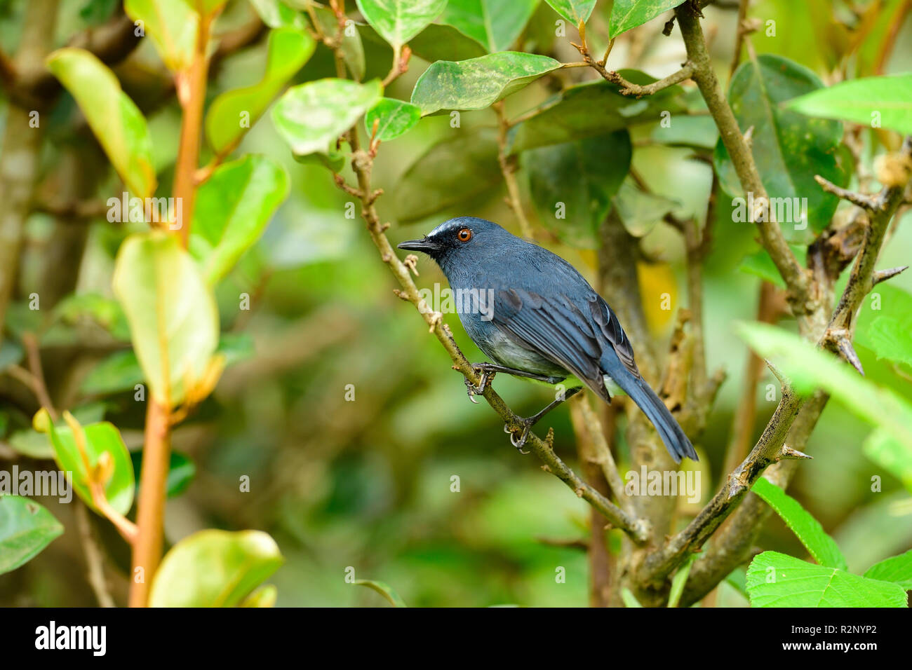 Beautiful blue bird, White-bellied blue robin male, Blue Robin resting on beautiful branch,looking at the wild, natural habitat - Stock Image
