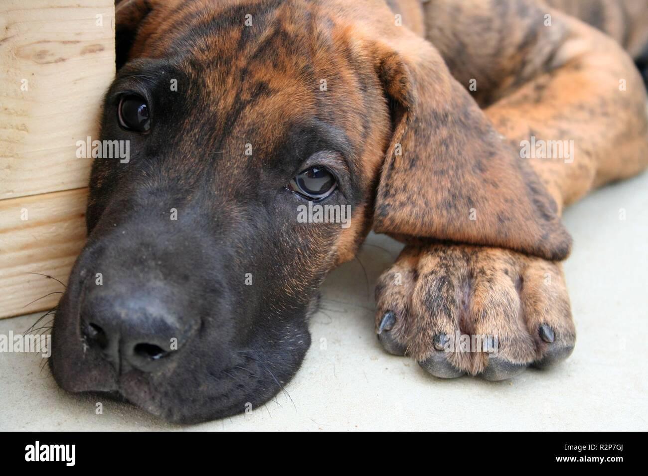 german mastiff - Stock Image