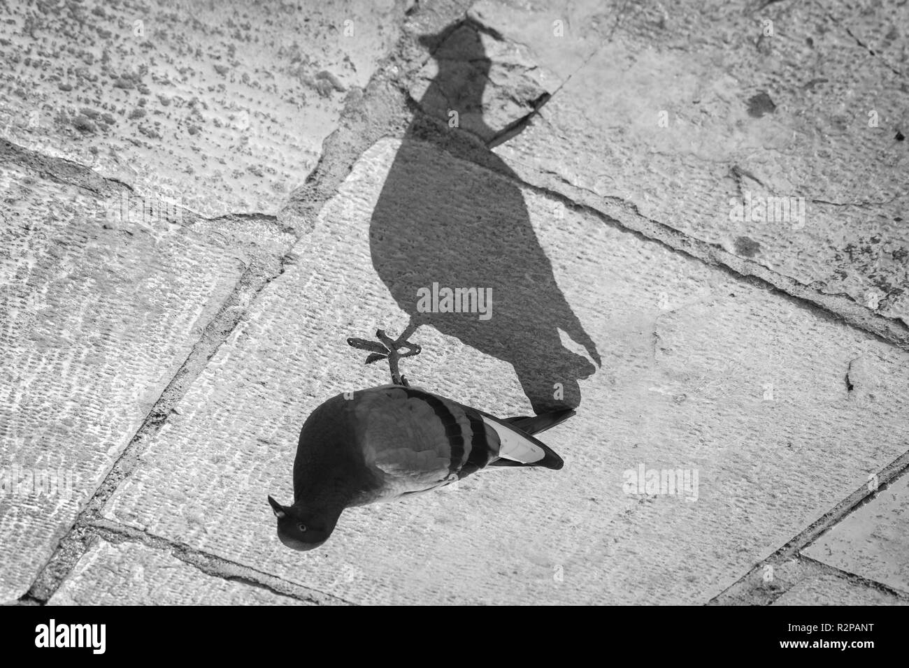Photo of a city pigeon and its much larger shadow on stone floor, turned by 180 degrees - Stock Image