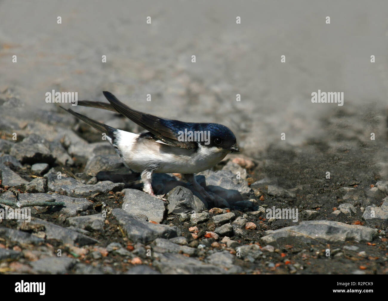 house martin nest material collecting Stock Photo