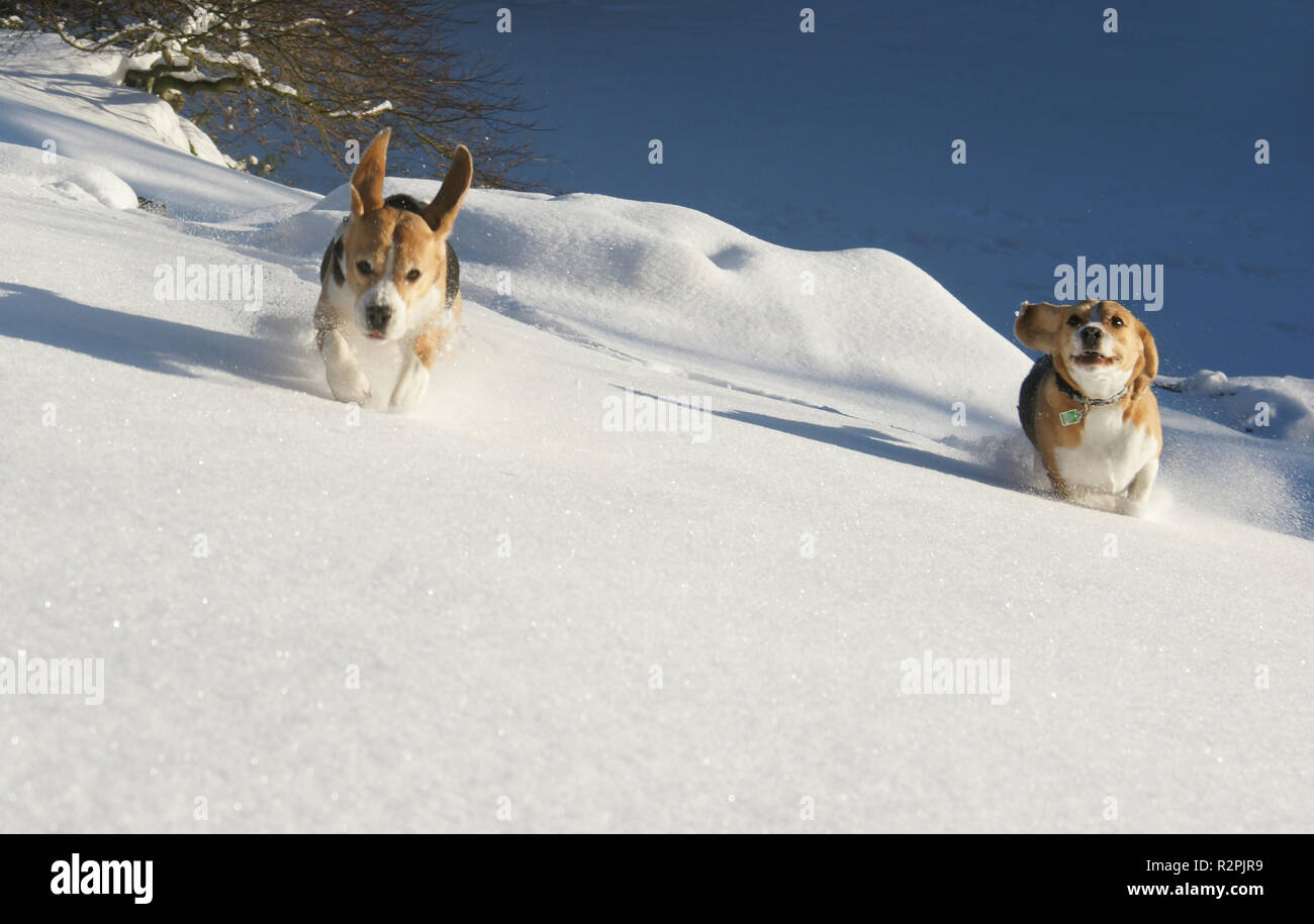 beagles play in the snow Stock Photo