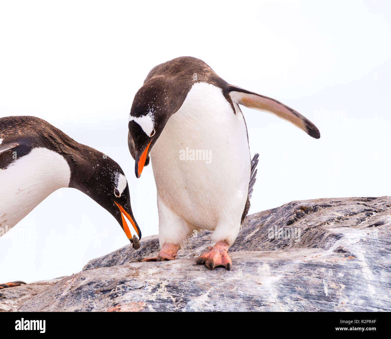 Male gentoo penguin offering stone to partner, who is bowing while standing on rock, Mikkelsen Harbour on Trinity Island, Antarctica - Stock Image