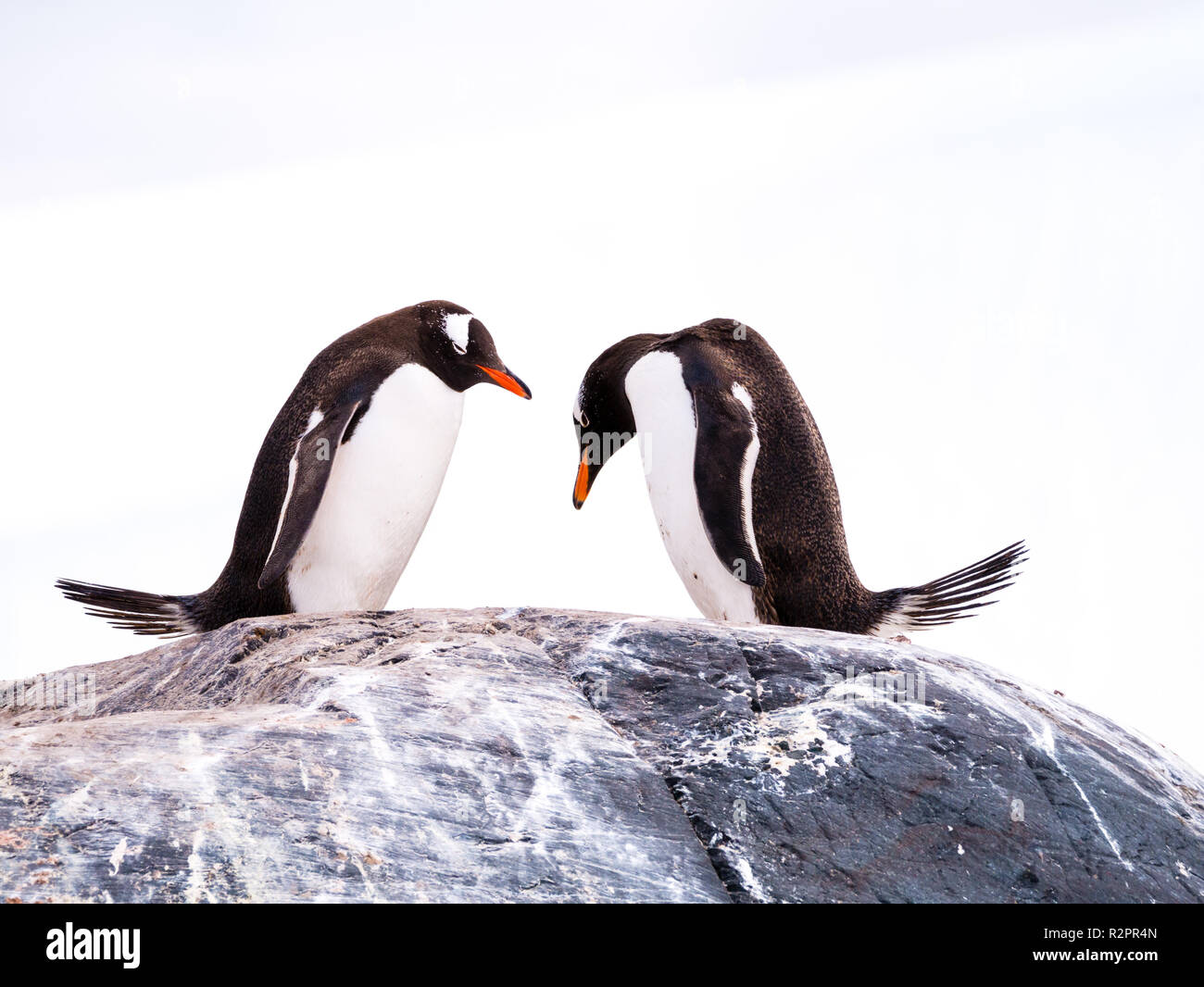 Pair of Gentoo penguins, Pygoscelis papua, standing side by side on rock and bowing, Mikkelsen Harbour, Trinity Island, Antarctic Peninsula, Antarctic - Stock Image