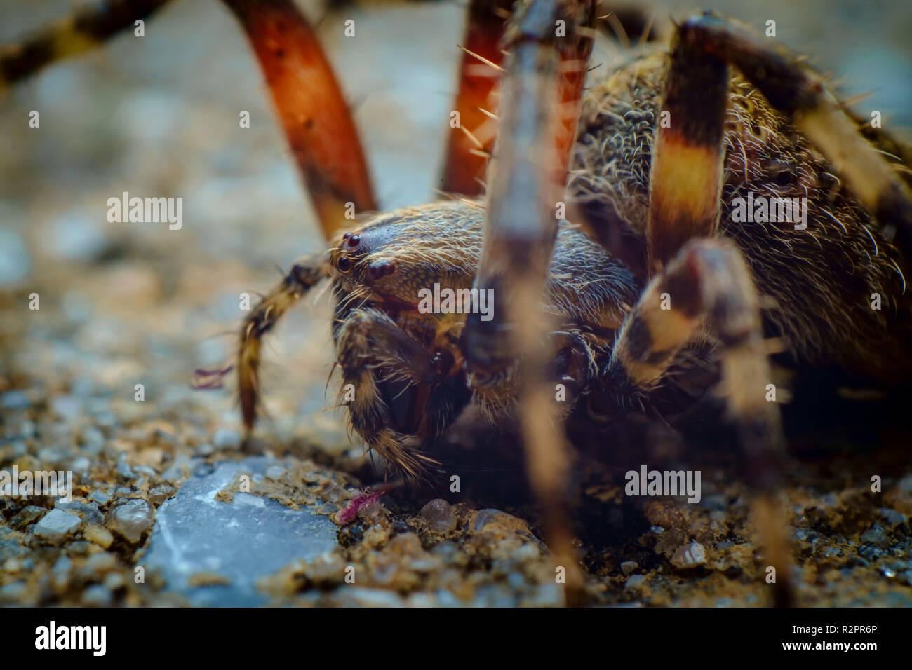 Extreme closeup macro hairy orb weaver spider - Stock Image