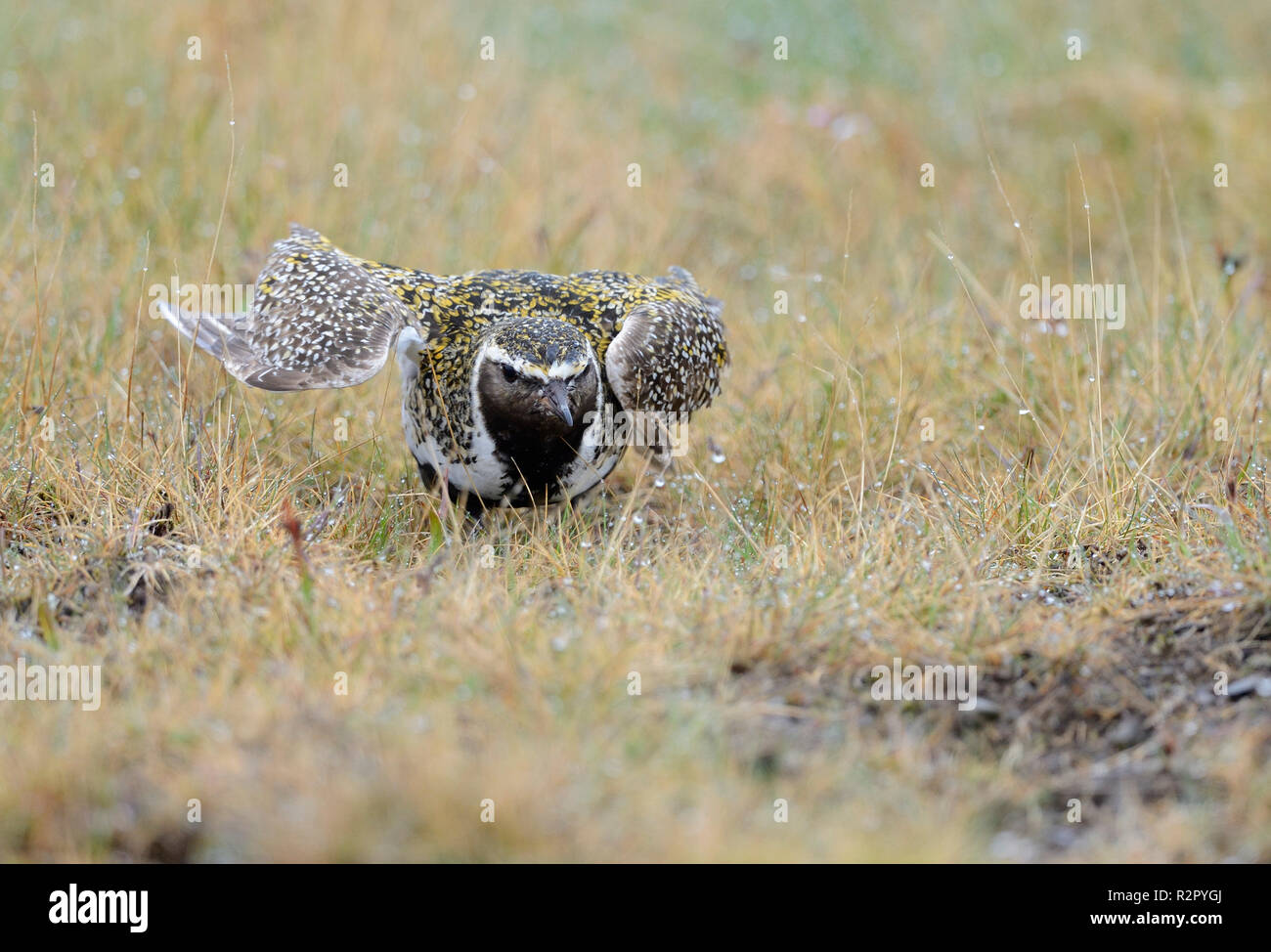 Eurasian golden plover, Pluvialis apricaria, distracting predators, Iceland - Stock Image