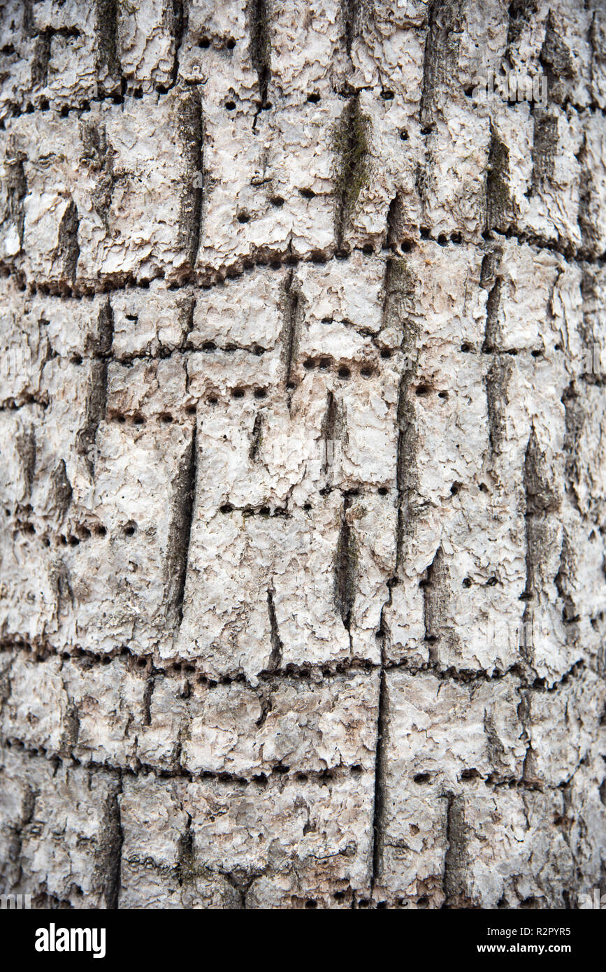 Tree trunk with woodpecker holes in repetition in outdoor forest in Minnesota in the United States. - Stock Image