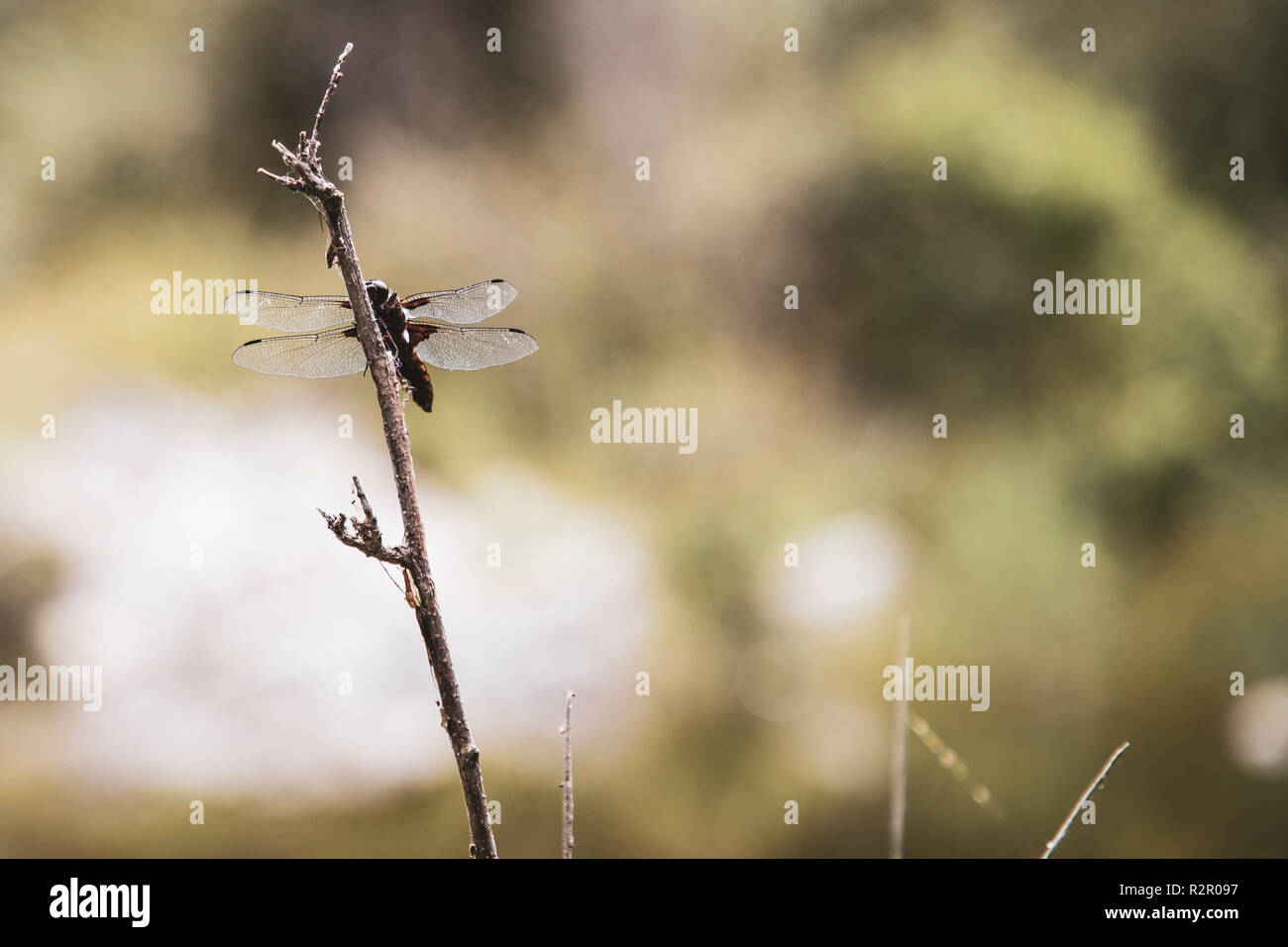 Wetland in the mountains of Sardinia, dragonfly on a twig - Stock Image
