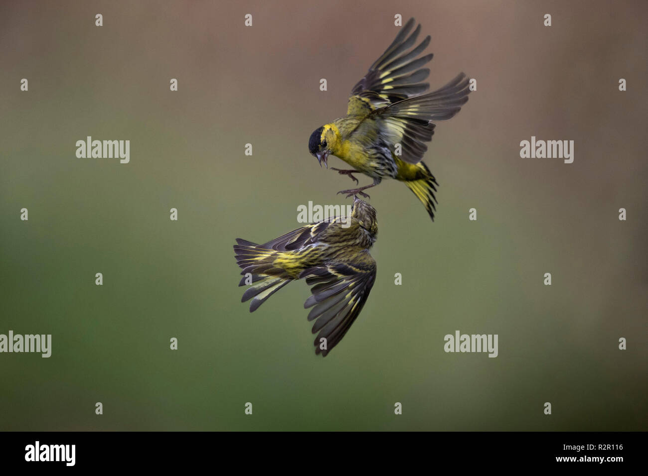 siskin flapping fight - Stock Image