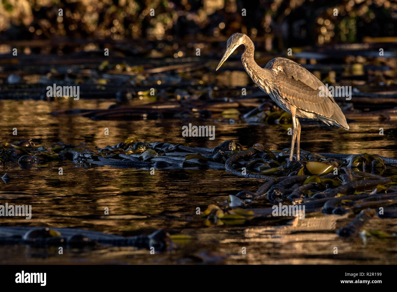 Great Blue Heron (Ardea herodias) waiting patiently on a kelp patch to catch a fish, Broughton Archipelago, First Nations Territory, British Columbia, Canada - Stock Image
