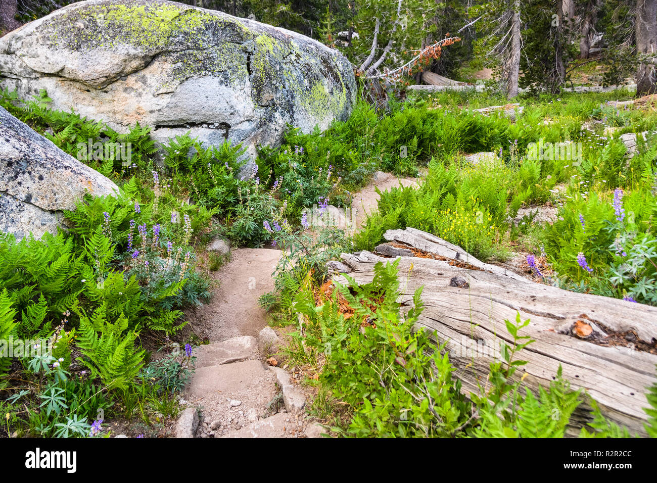 Beautiful hiking trail lined up with green ferns and silver lupine wildflowers, Yosemite National Park, Sierra Nevada mountains, California Stock Photo