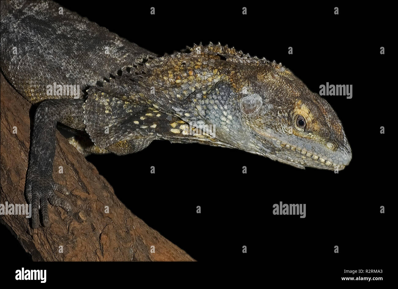 frilled lizard - Stock Image