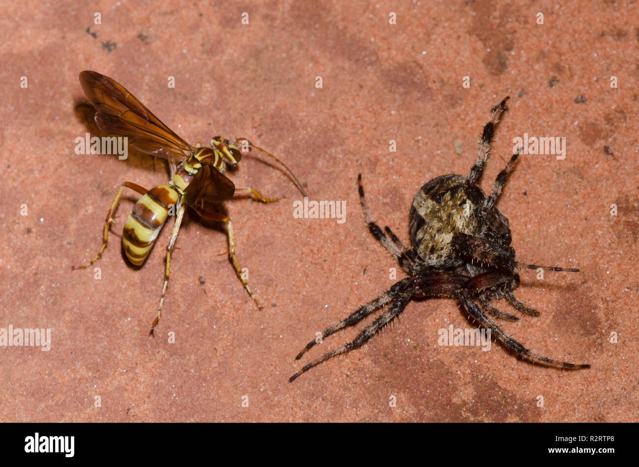 Spider Wasp, Poecilopompilus interruptus, female with paralyzed Spotted Orb Weaver, Neoscona crucifera, adult female prey - Stock Image