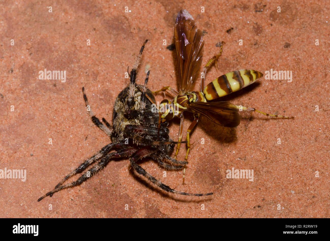 Spider Wasp, Poecilopompilus interruptus, female dragging paralyzed Spotted Orb Weaver, Neoscona crucifera, adult female prey - Stock Image