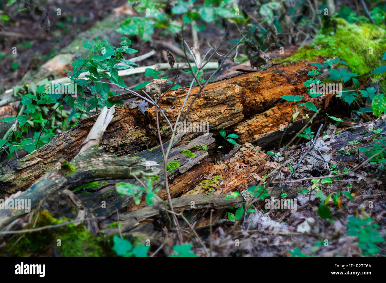 Decayed log is falling apart in the forest duff - Stock Image