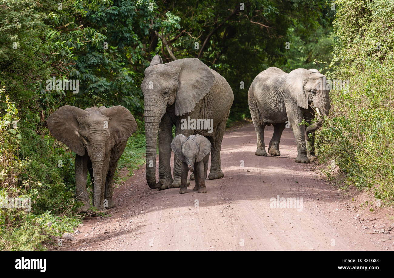 Elephants in Lake Manyara, Tanzania - Stock Image