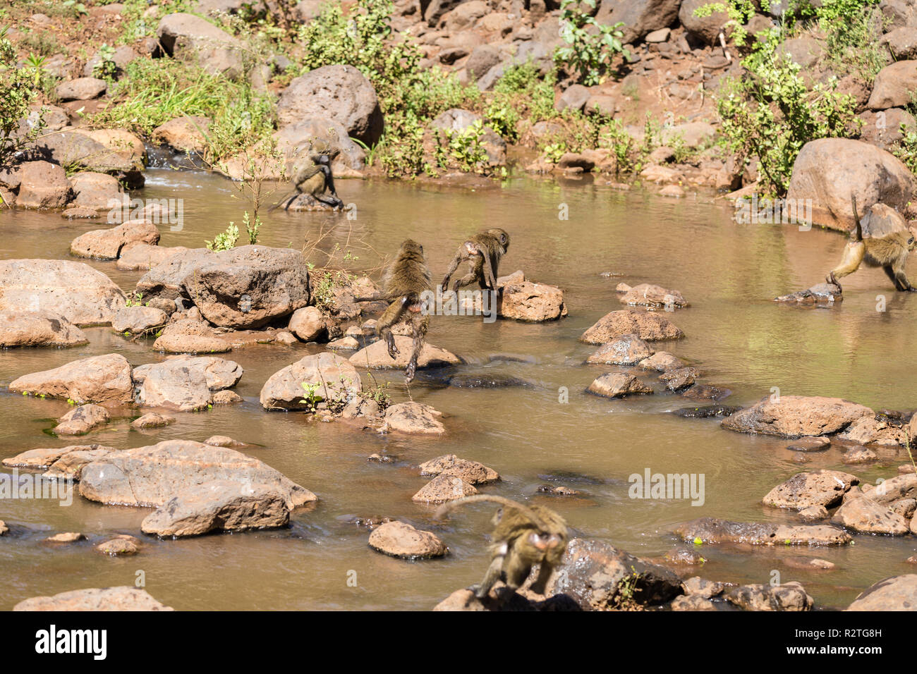 Baboons playing in river - Stock Image
