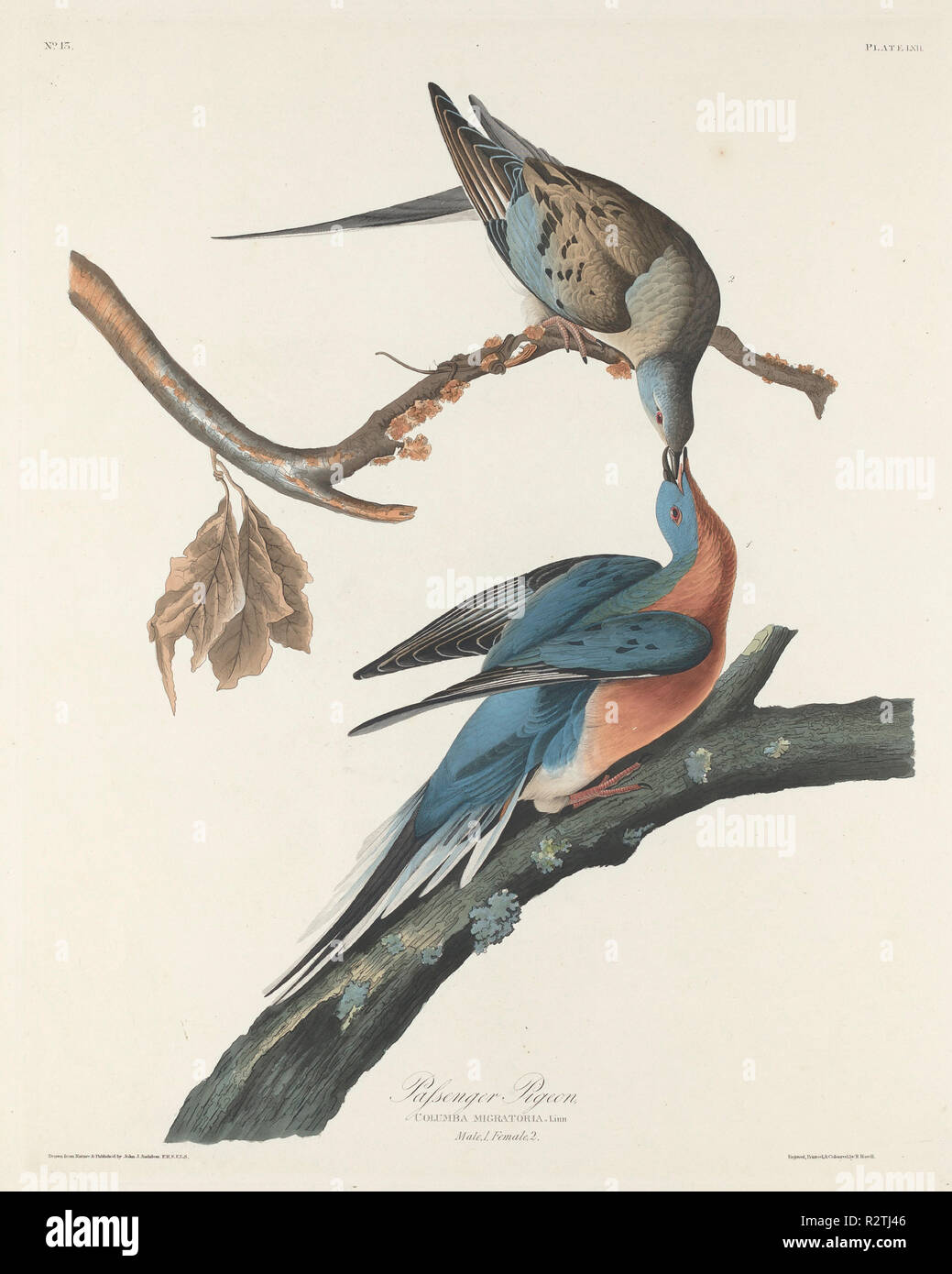 Passenger Pigeon. Dated: 1829. Dimensions: plate: 65.7 x 52.7 cm (25 7/8 x 20 3/4 in.)  sheet: 101 x 68 cm (39 3/4 x 26 3/4 in.). Medium: hand-colored etching and aquatint on Whatman paper. Museum: National Gallery of Art, Washington DC. Author: Robert Havell after John James Audubon. AUDUBON, JOHN JAMES. - Stock Image