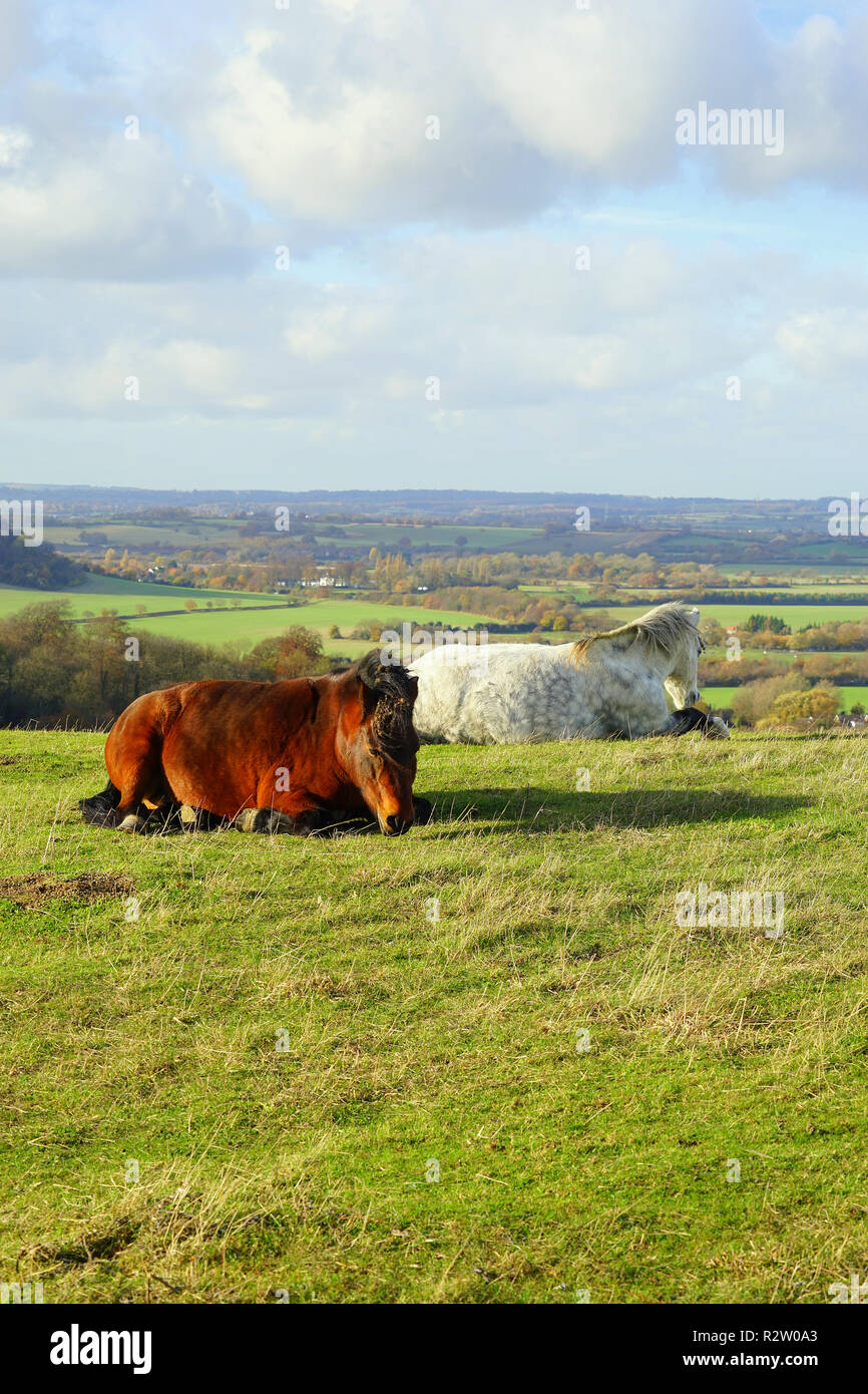 Horses at ease on the Barton Hills Nature Reserve - Stock Image