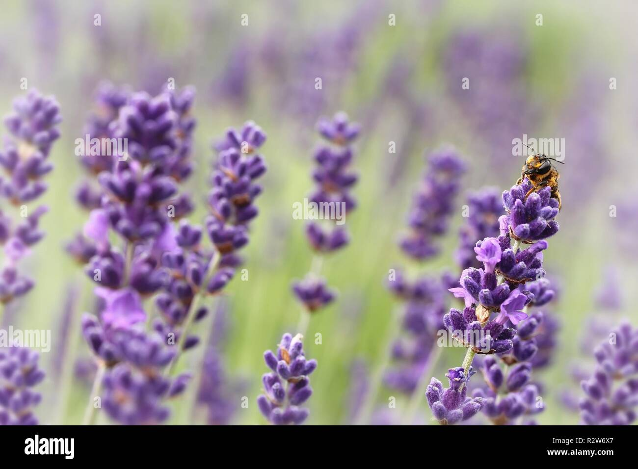 bee on lavender flowers - Stock Image